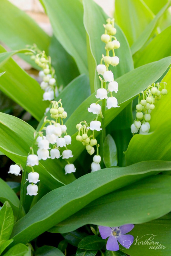 shade lily of the valley