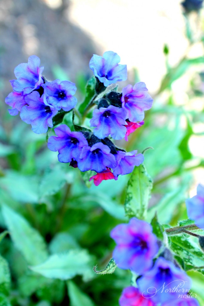 shade lungwort