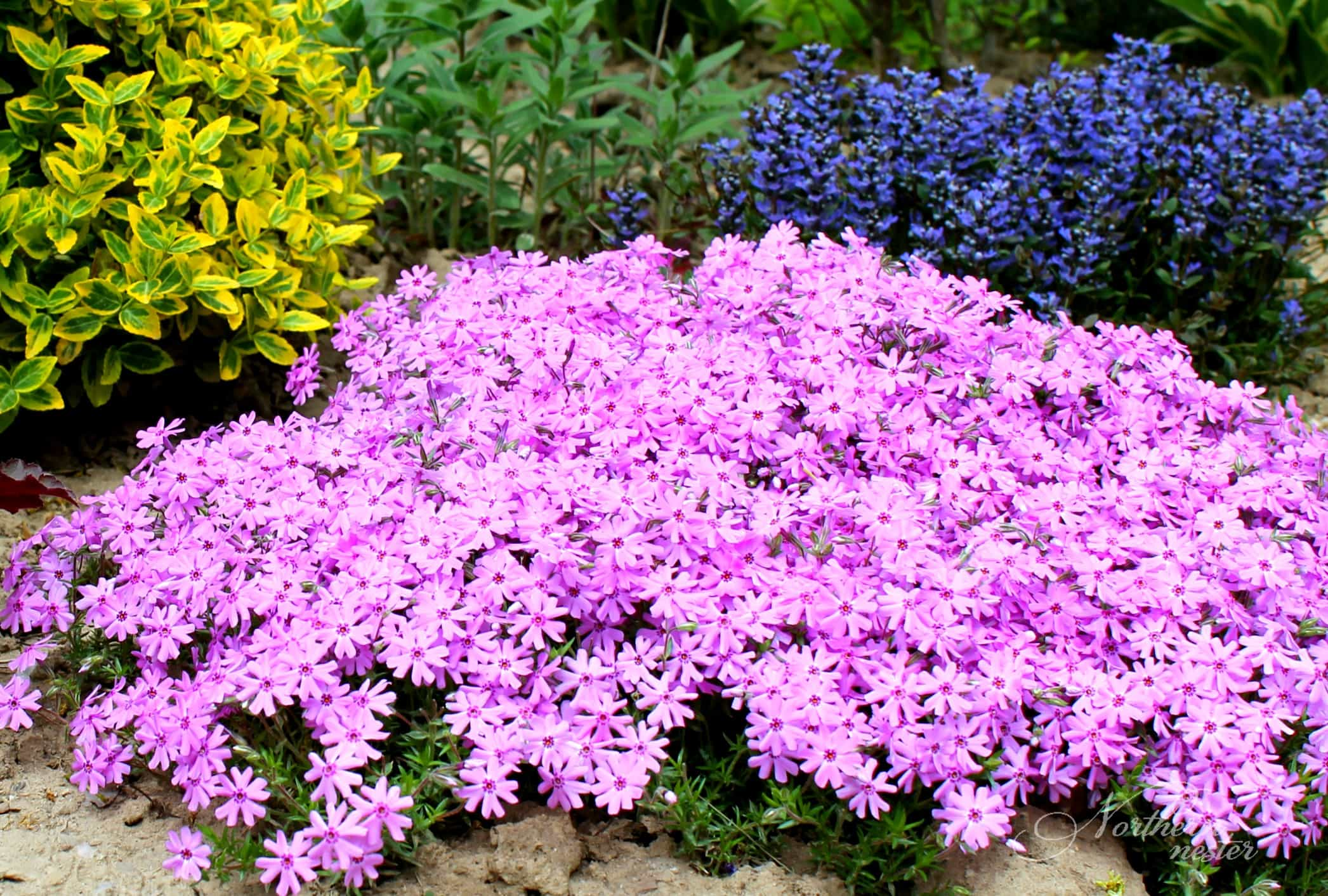 15 colorful perennials for shade northern nester shade moss phlox mightylinksfo