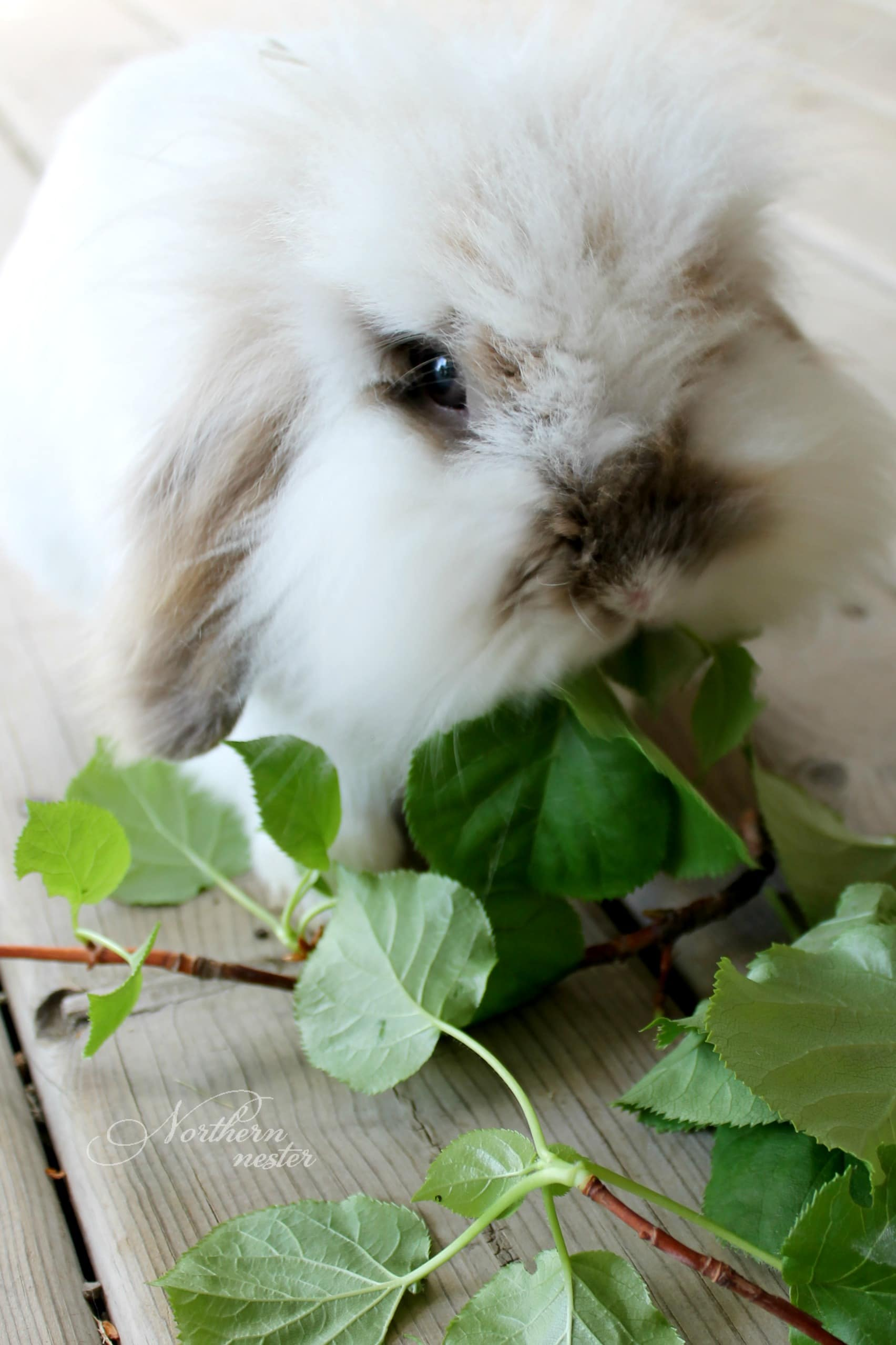 Lionhead Rabbits Complete Guide To Care Lifespan Breed