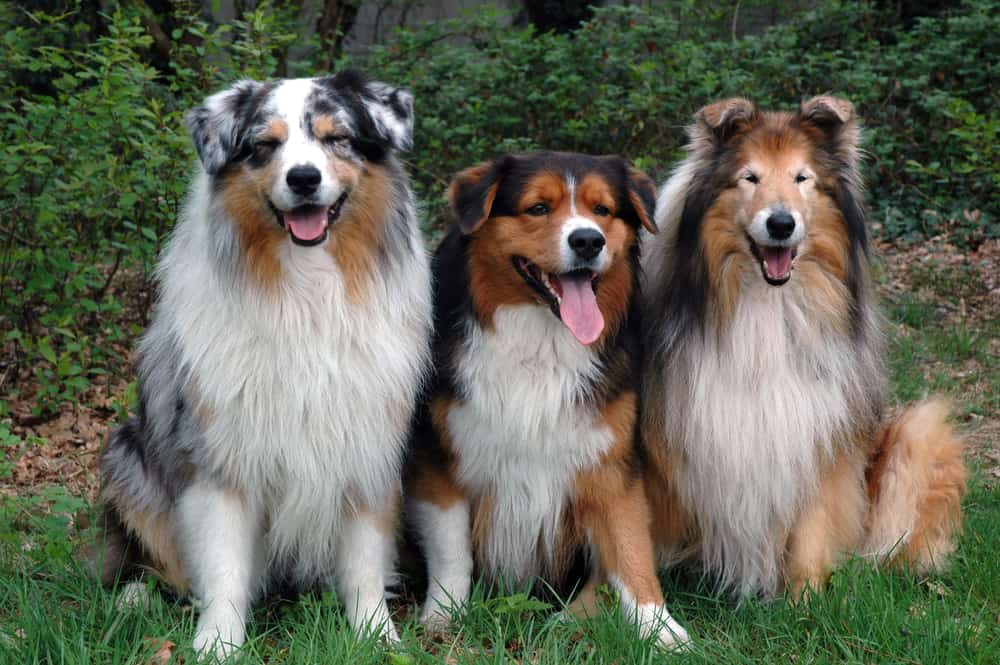 english shepherd with other dogs