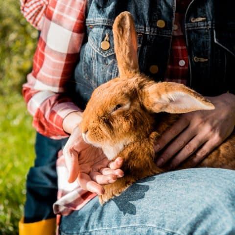 netherland dwarf rabbit breed history