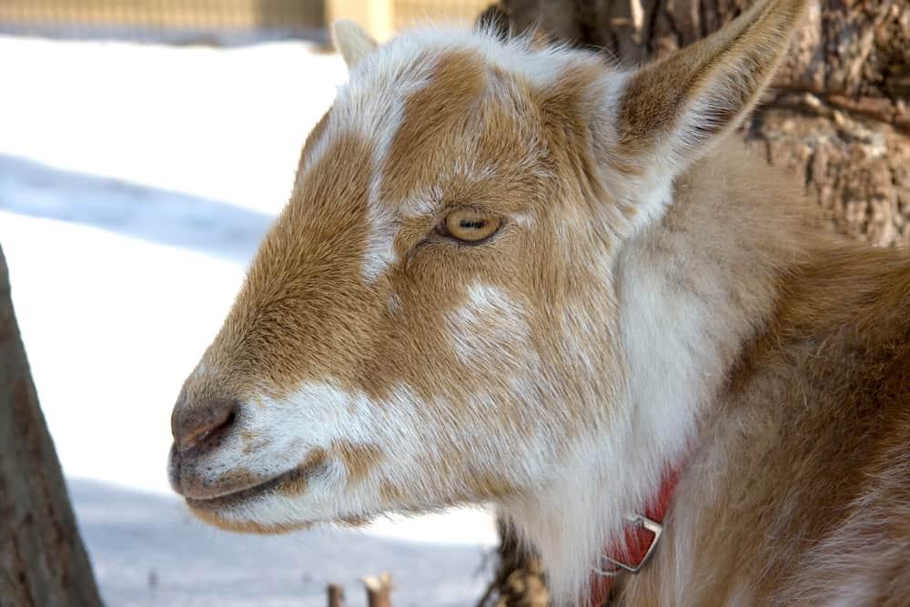 Nigerian dwarf goats origin and history
