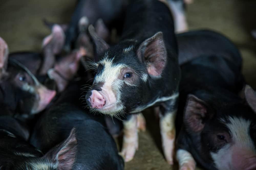 berkshire pigs characteristics