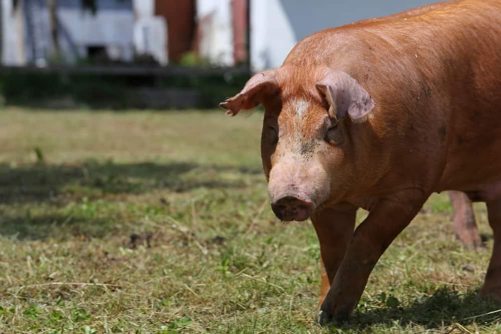duroc pigs characteristics
