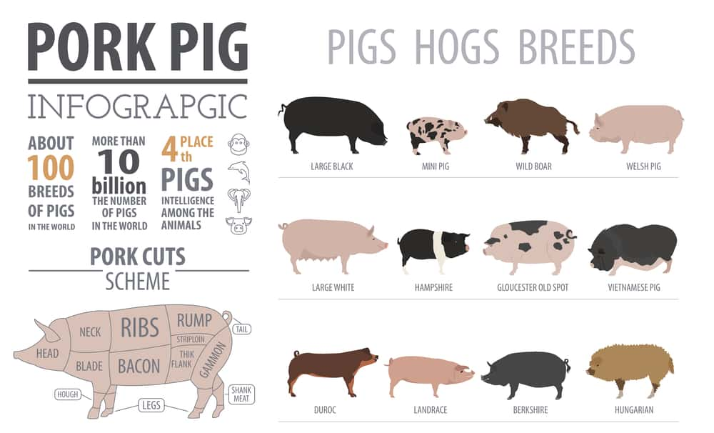 duroc pigs meat quality