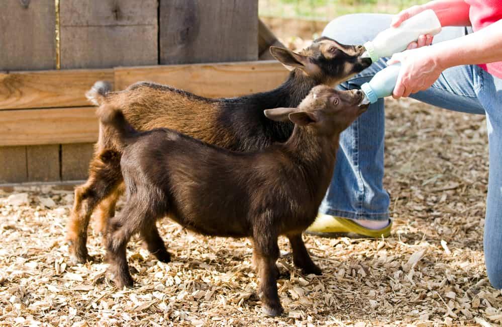 feeding nigerian goats