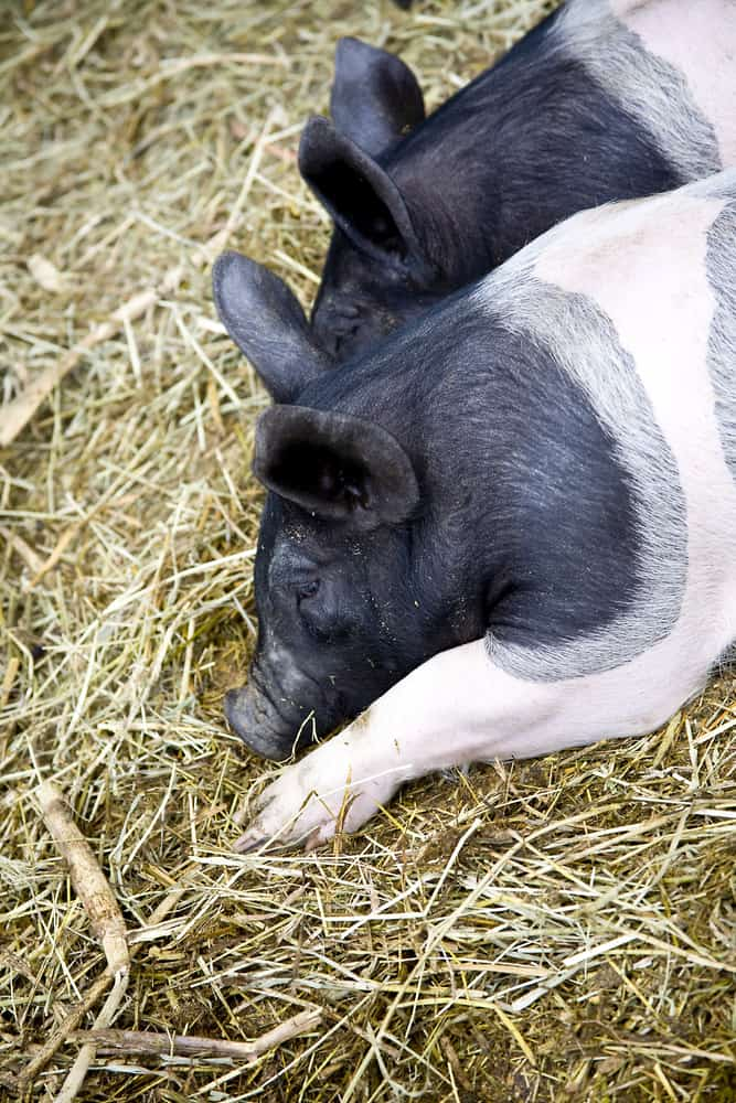 hampshire pigs characteristics