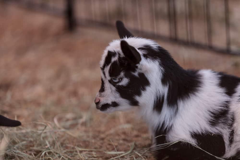how much nigerian dwarf goat cost