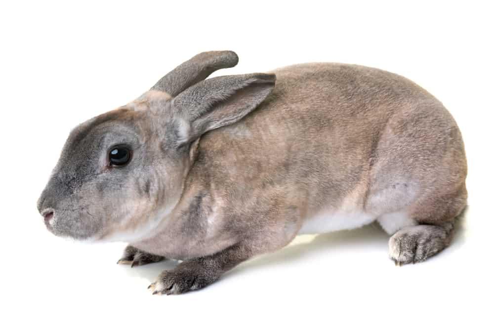 rex rabbit characteristics