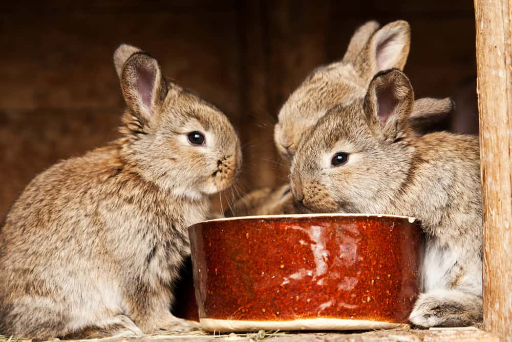 should rabbits eat dog or cat food