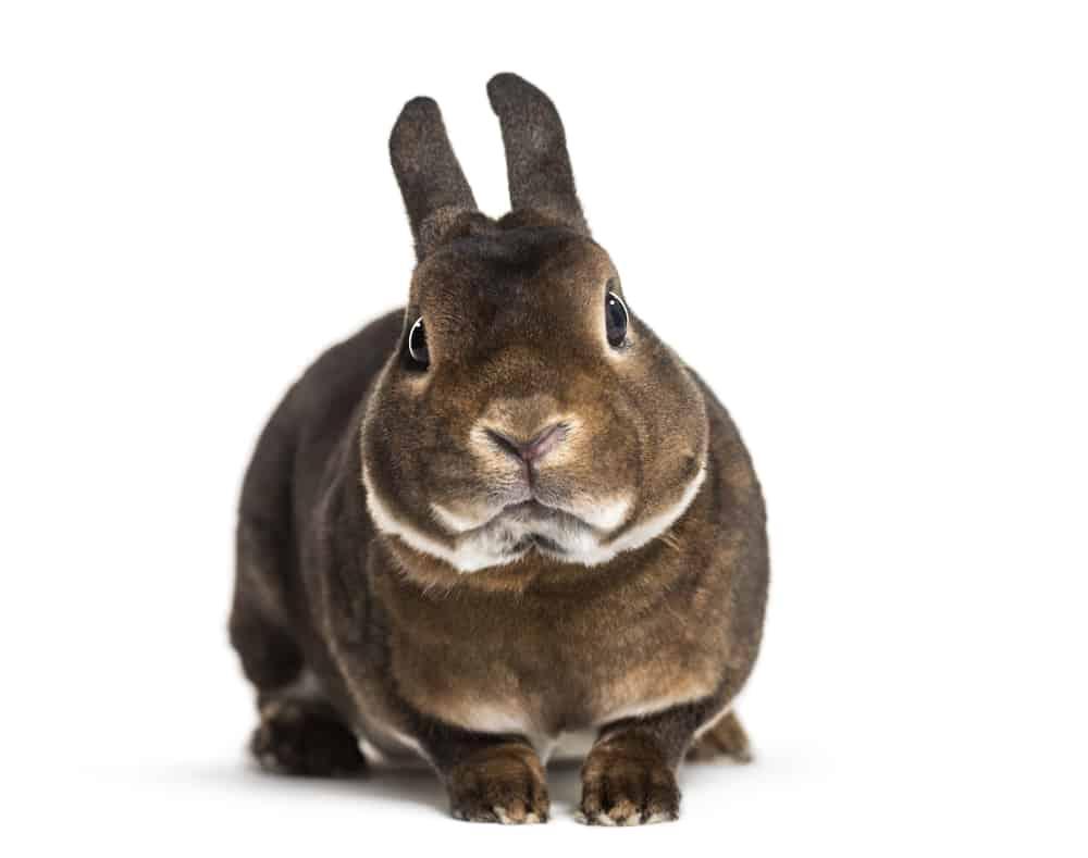 standard rex rabbit