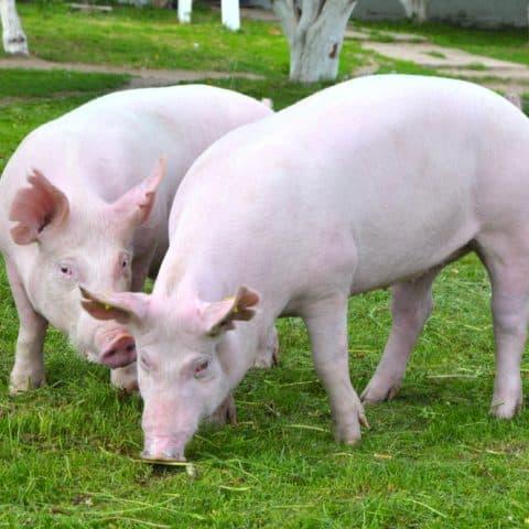 yorkshire pigs