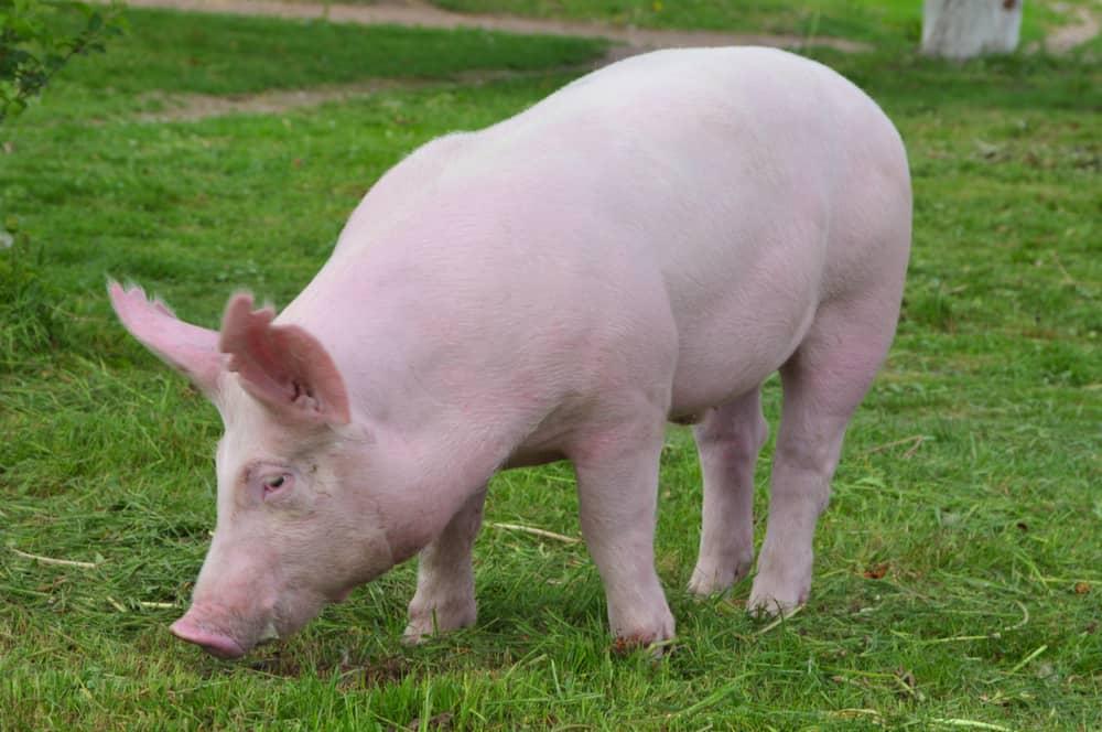 yorkshire pigs characteristics