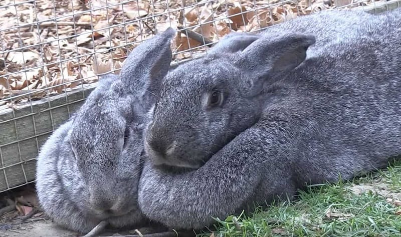 Flemish Giant Rabbits Care And Breeding Northern Nester