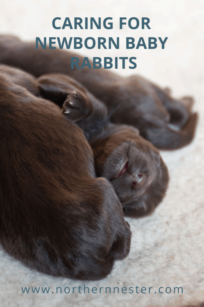 caring for new born baby rabbits
