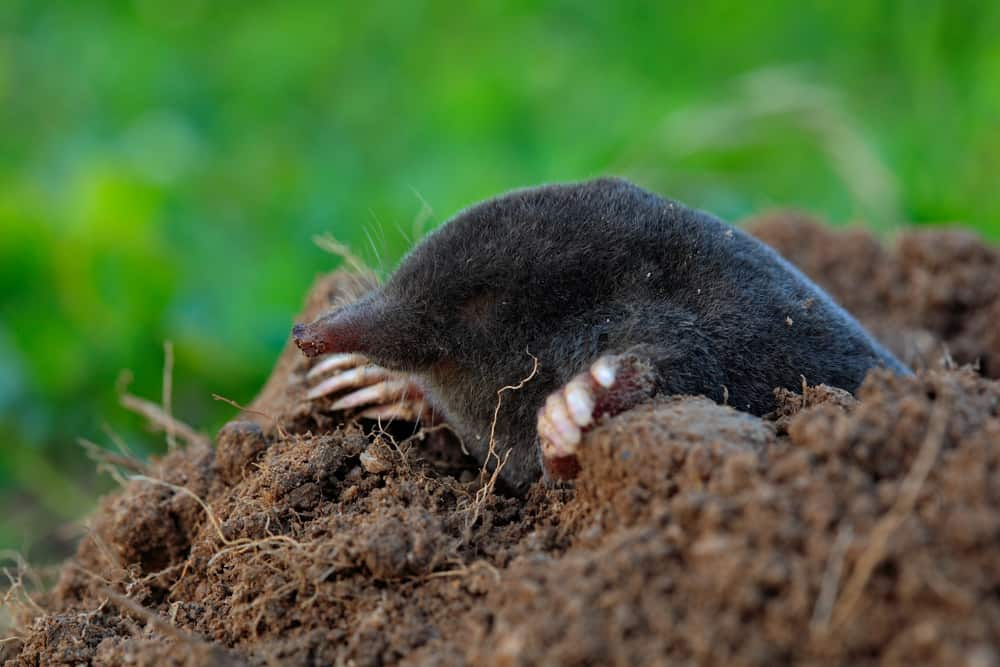 do you need to get rid of moles at all