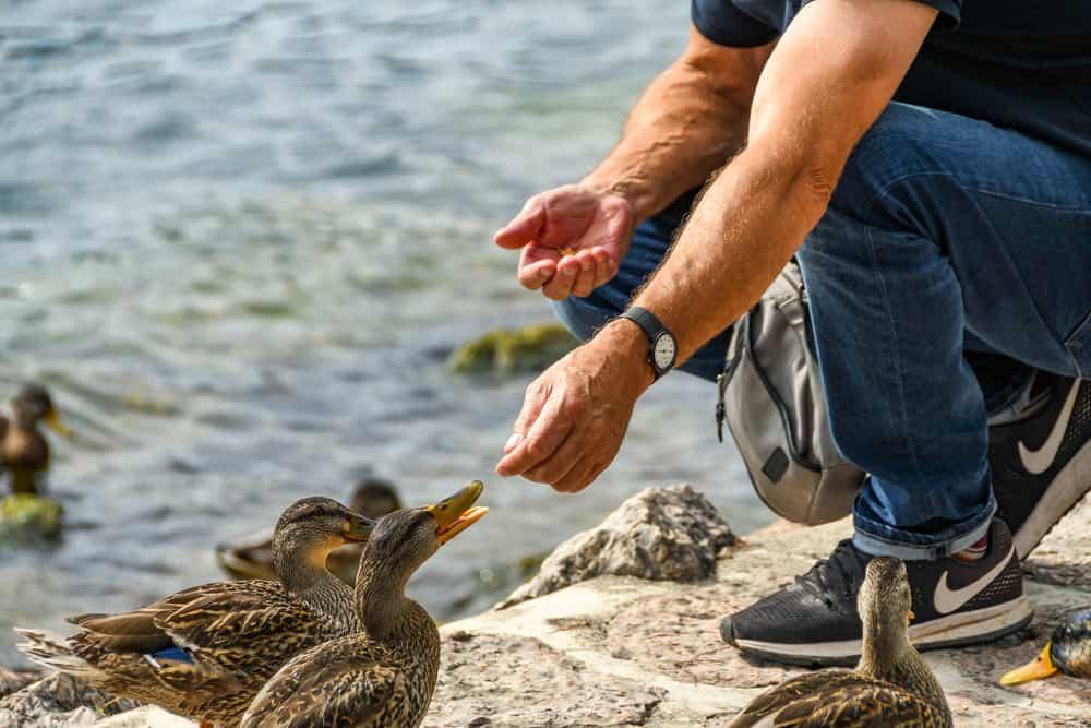 duck dietary needs