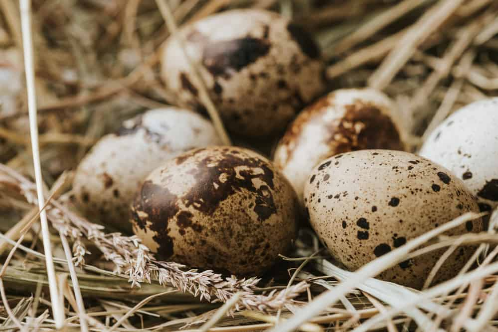 Quail Eggs Facts