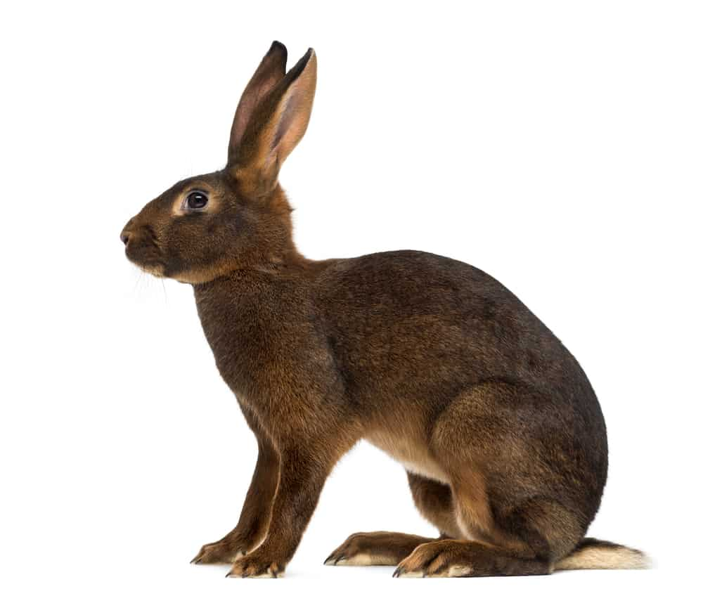 belgian hare rabbit