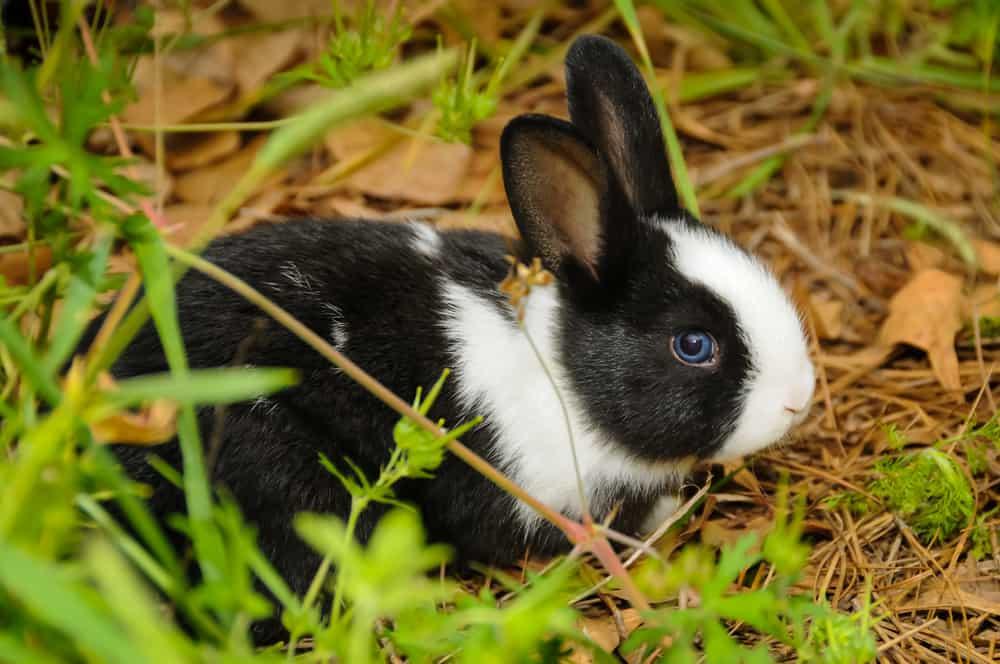 dutch rabbit