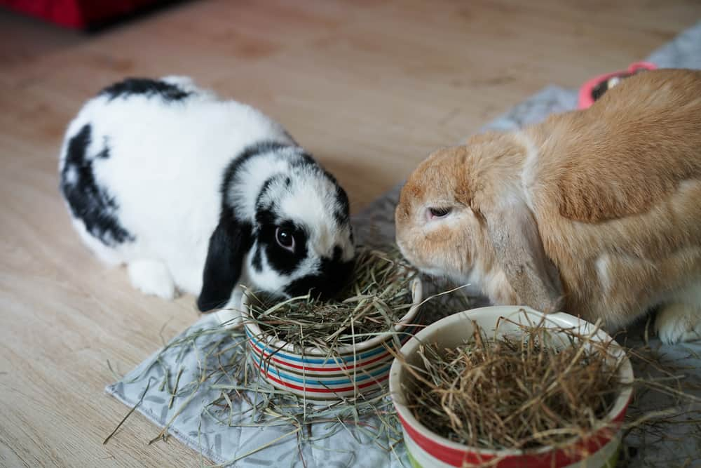 holland lop rabbit care