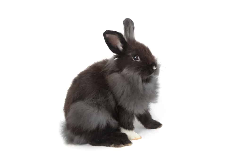 holland lop rabbit characteristics