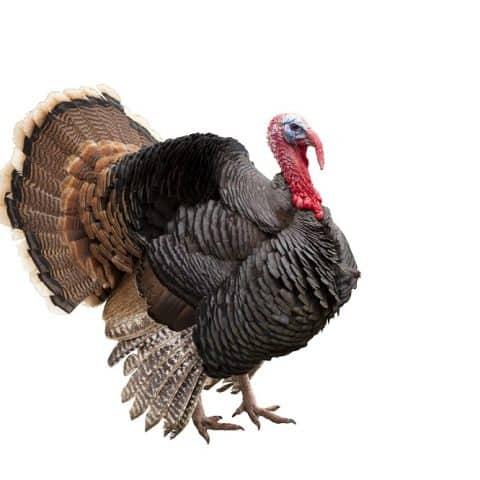 what do turkeys eat