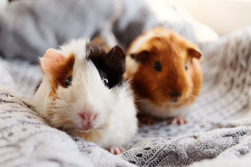 how many guinea pig breeds is out there