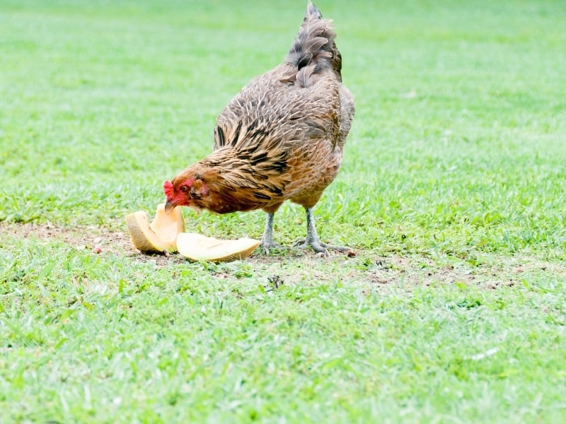 ameraucana chicken benefits
