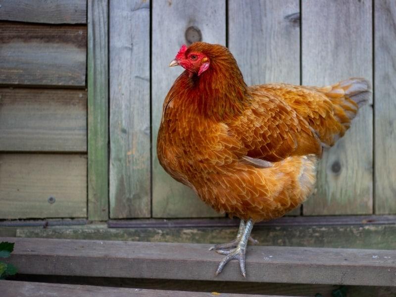 ameraucana chicken characteristics