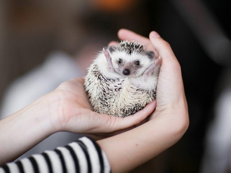 hedgehog needs and requirements