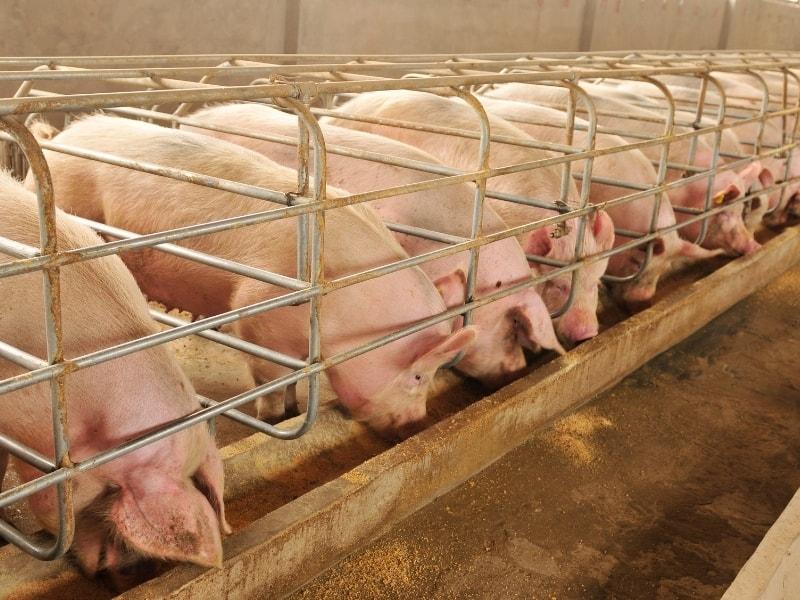 how long do pigs live as livestock