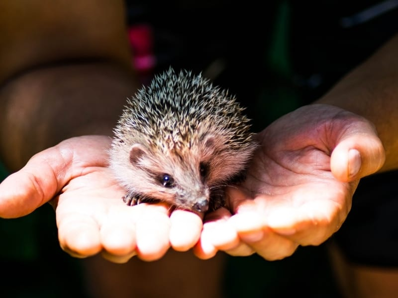 things to consider with pet hedgehog