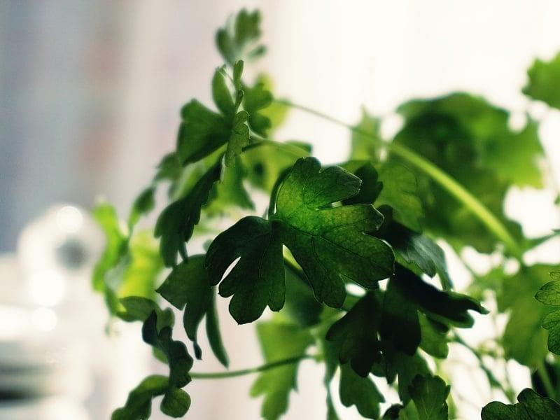 what is cilantro