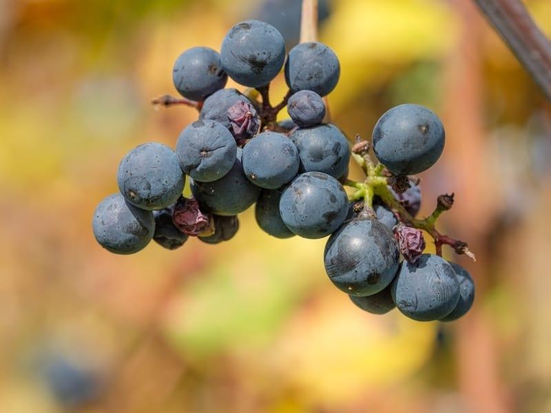 Lemberger grape