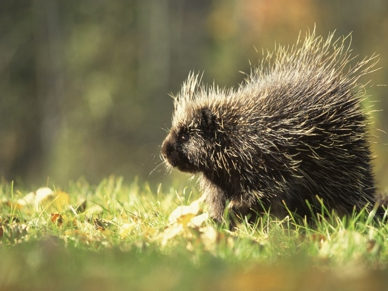 difference between hedgehog vs porcupine