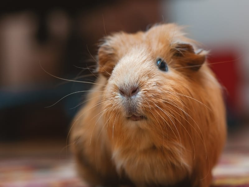 different guinea pig sounds
