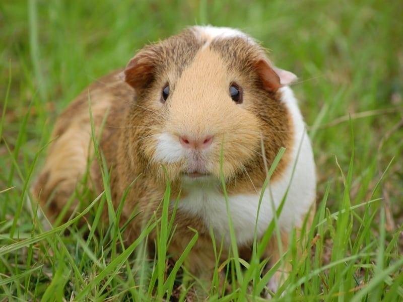 guinea pig gestures