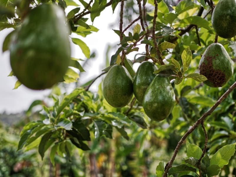 popular types of avocado
