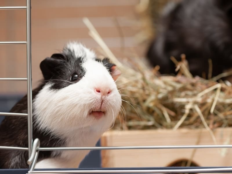 what do guinea pig sounds mean