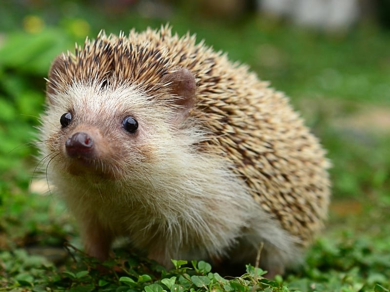 what is a hedgehog