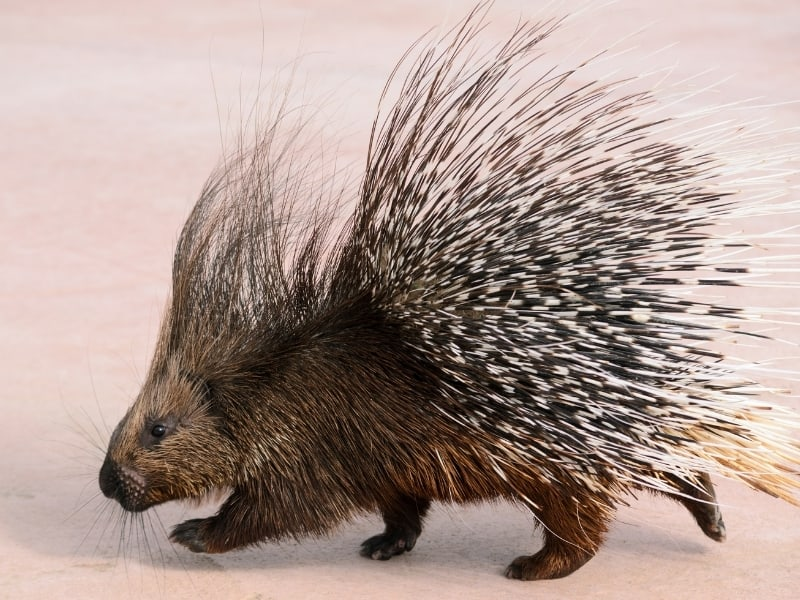 what is a porcupine