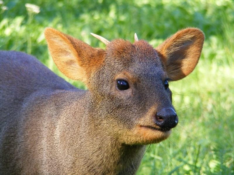 Pudú deer