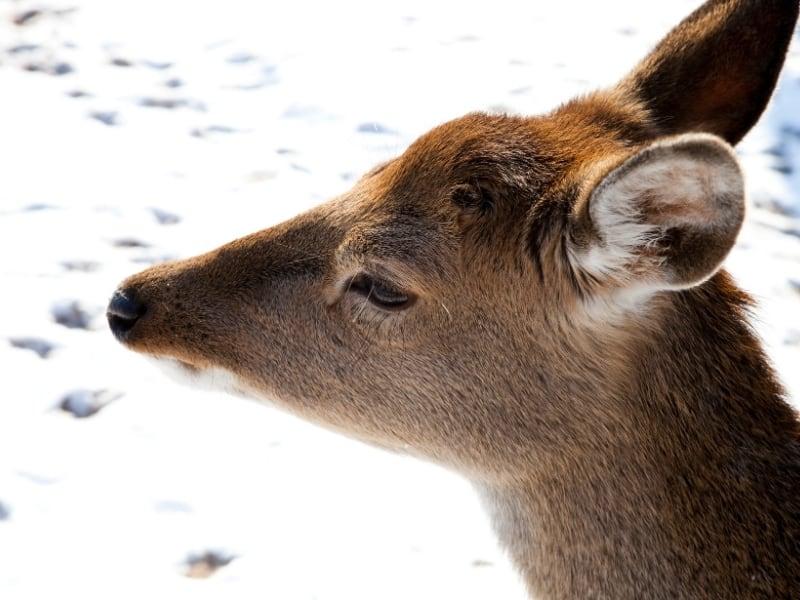 Water deer