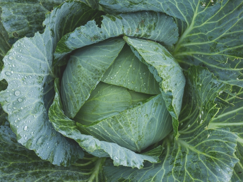 best type of cabbage