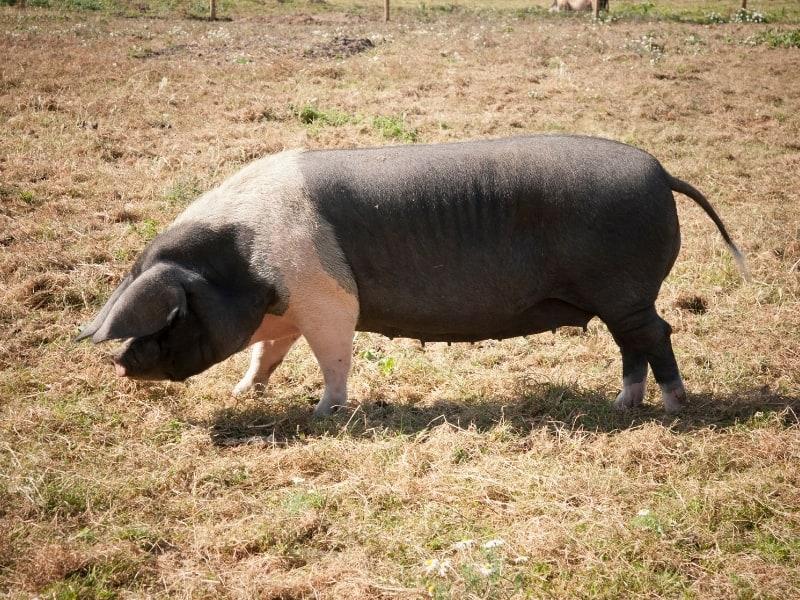 hampshire pig