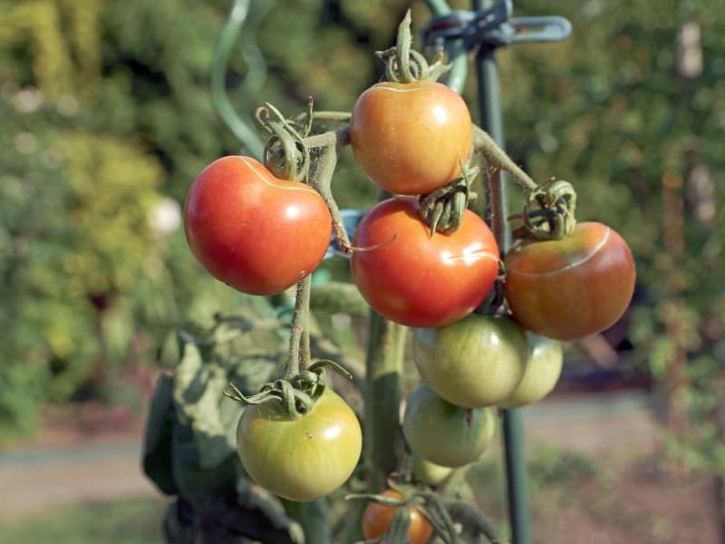 best time to plant tomatoes