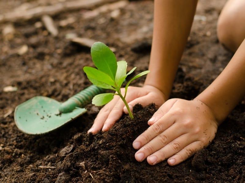 how to plant hydrangeas seeds