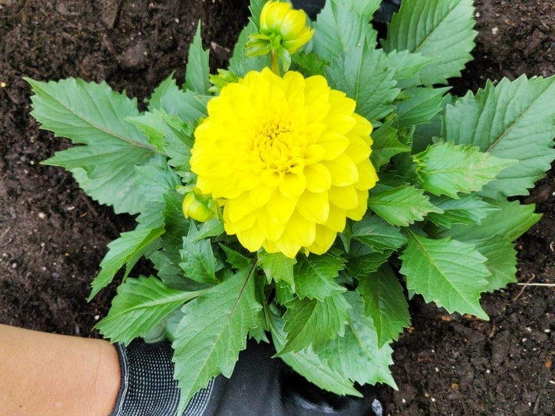 how to water dahlias